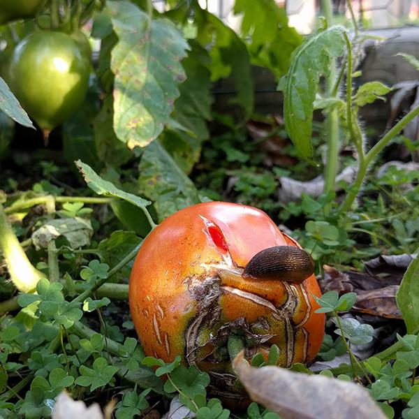 slug and tomato